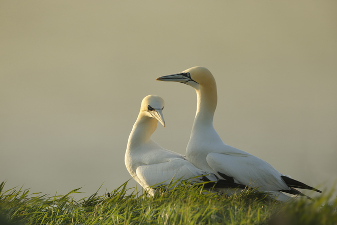 Robin-Lowry, Gannets, Bempton Cliffs, UK.