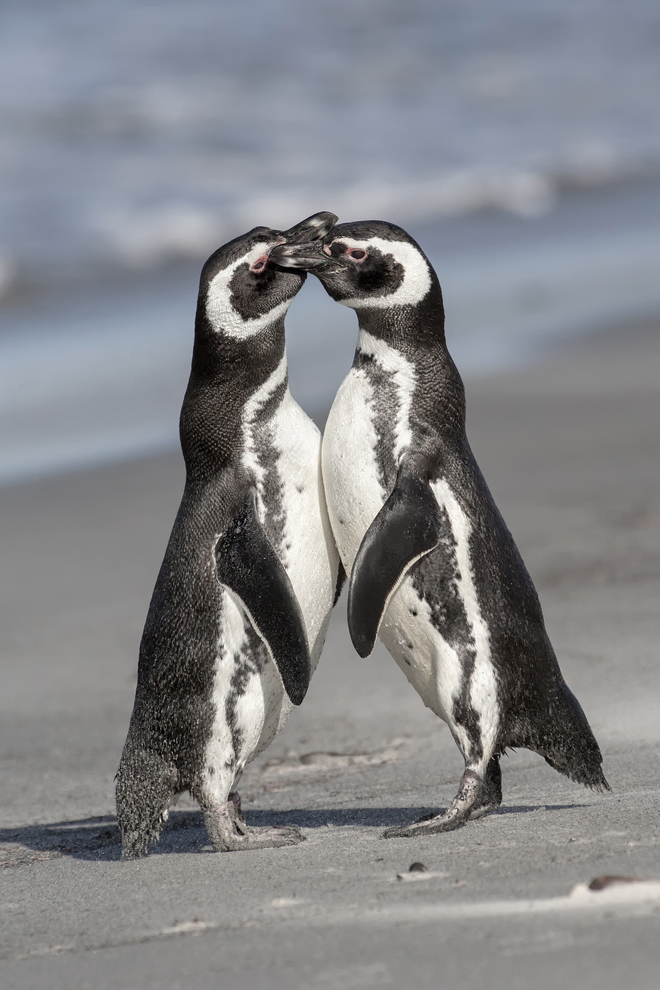 David Osborn, Magellanic Penguin Courtship.