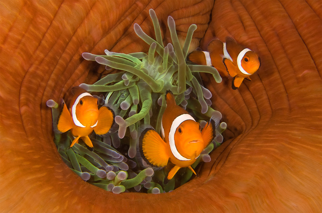 Len Deeley, Three Clownfishes with Closed Sea Anemone, Dumaguete, Philippines.