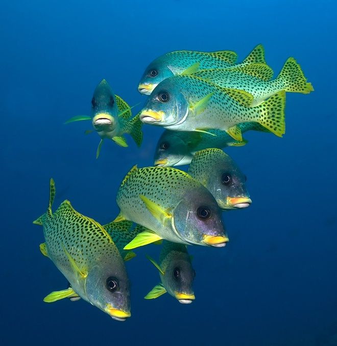 A Shoal Of Sweetlips taken by Len Deeley in the Sudanese Red Sea