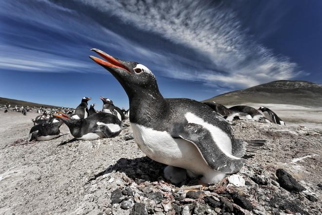 David Osborn, Gentoo Penguin on Nest, > Falkland Islands.&#8221;       title=       &#8220;David Osborn, Gentoo Penguin on Nest, Falkland Islands.&#8221; />       </p> <p style=