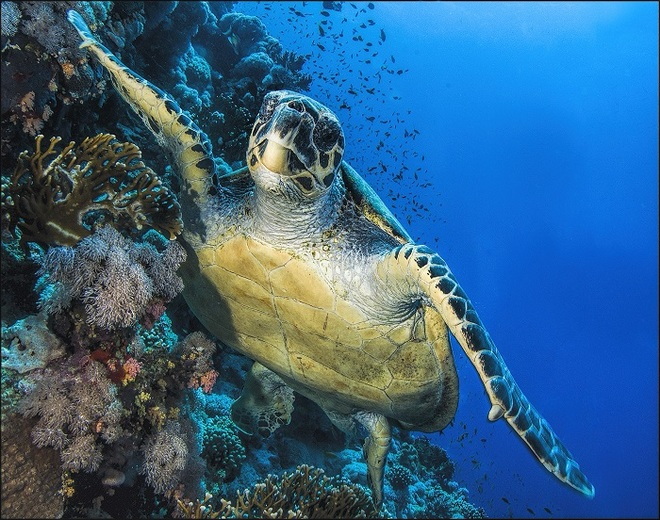 Green Sea Turtle taken by Len Deeley in the Red Sea Egypt