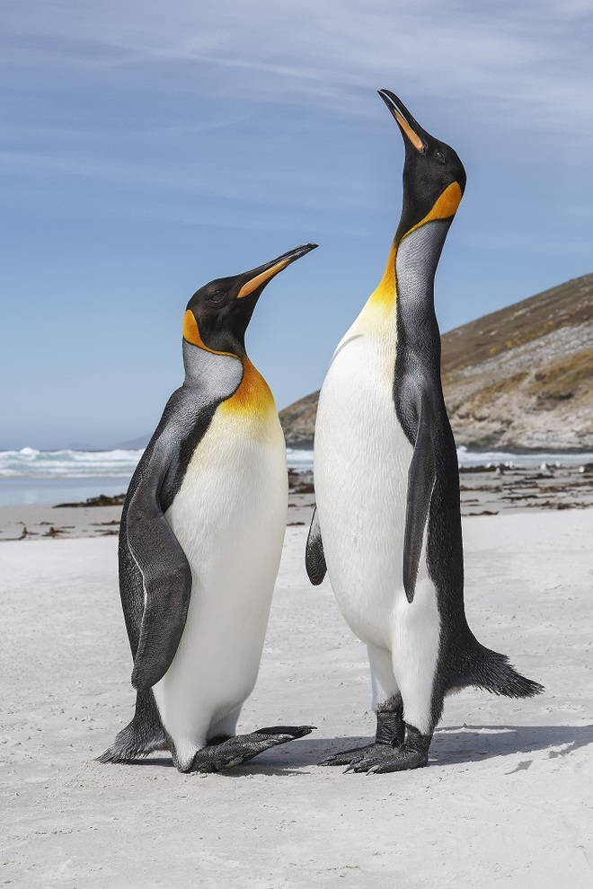 King Penguin Courtship taken by David Osborn in the Falkland Islands