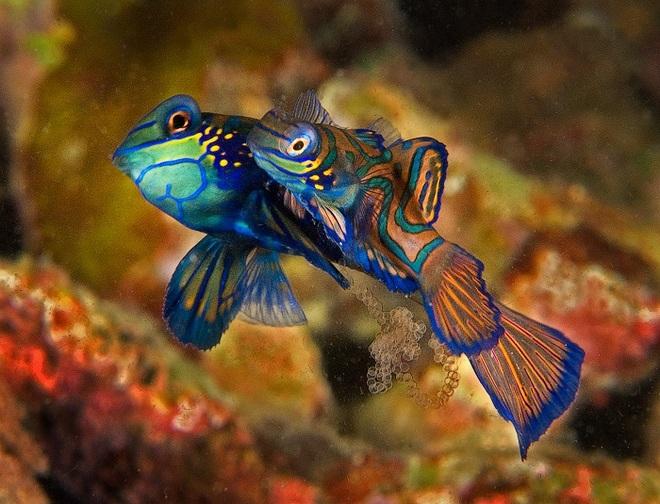 Mating Mandarin fishes taken by Len Deeley in Puerto Galera, Philippines
