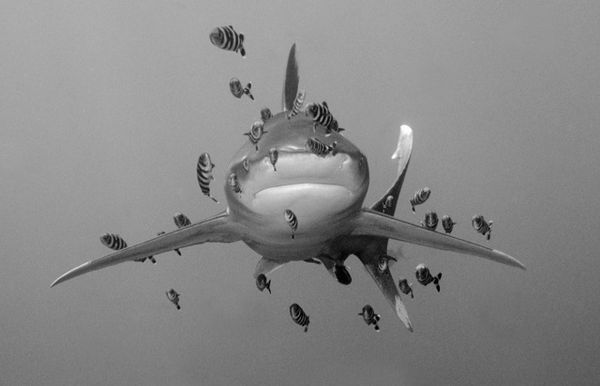 Len Deeley, Oceanic White Tip Shark with Pilot Fishes, Egyptian Red Sea.