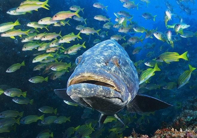 Potato Grouper with Snappers and Goatfishes taken by Len Deeley in Mozambique